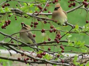 cedar waxwings church