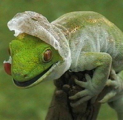 molting-gecko